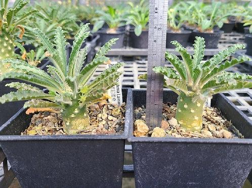 Dorstenia lavrani Seedlings (A)