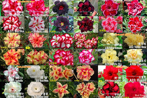 Multi-petals mixed color (Big quantity)