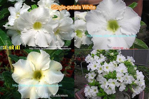 Single-petals White mixed