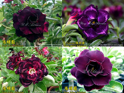 Multi-petals Black B mixed
