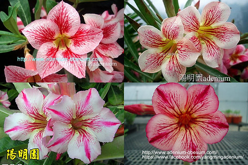 Single-petals STRIPE mixed