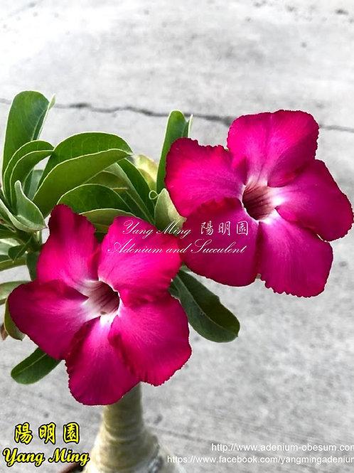 Adenium Swazicum #1 seedling (5 inches)