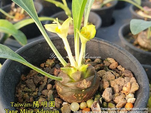 Euphorbia bupleurifolia seedlings