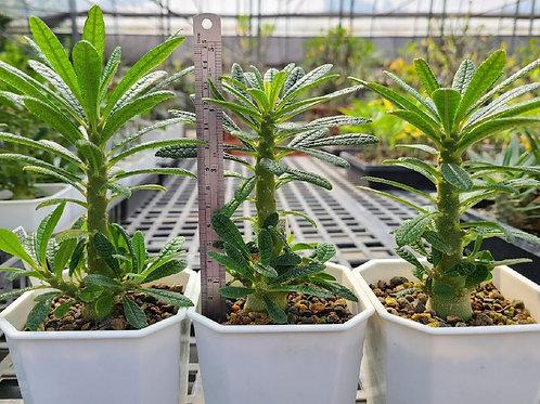 Dorstenia gigas Seedlings
