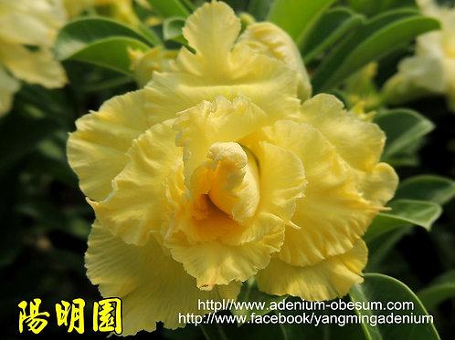Aurum Crown II