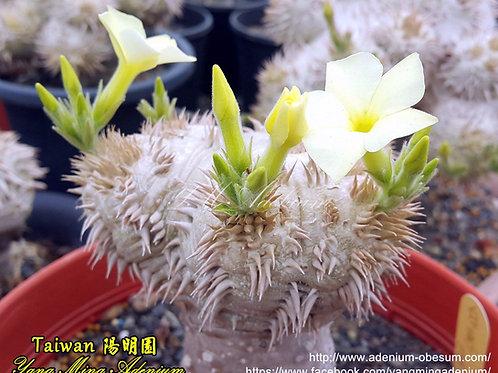 Pachypodium Brevicaule - White Flower