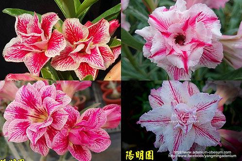 Multi-petals STRIPE mixed