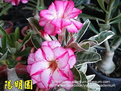 Multi-petal Stripe Flower Variegated Leaves