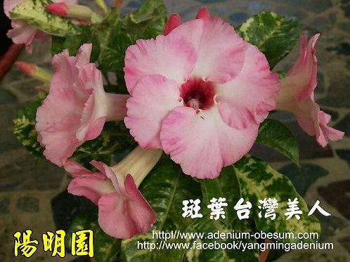 Pink Flower Variegated Leaves