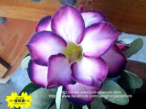 Purple Crown  (Purple Fair)