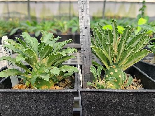 Dorstenia lavrani Seedlings (B)