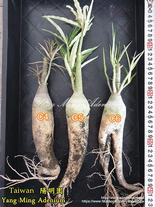 Adenium Somalense var. Crispum Seedling