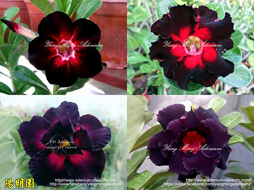 Single-petals + Multi-petals Black mixed