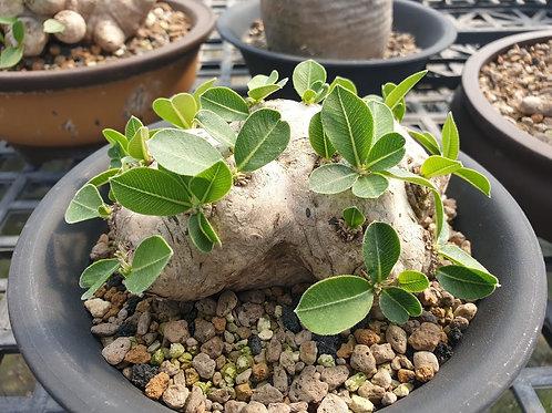 Pachypodium brevicaule seedling (B1)