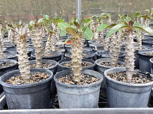 P. baronii x P. windsorii hyb. Seedlings