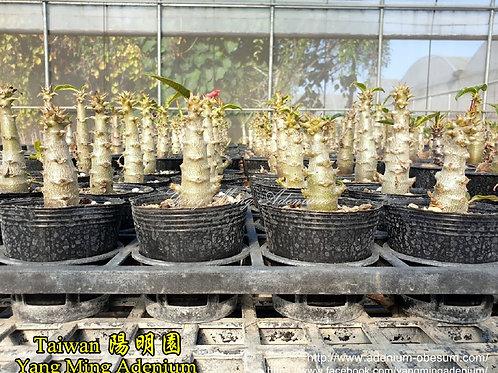 Pachypodium windsorii seedlings