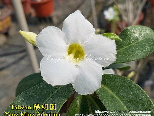 Arabicum - White Flower