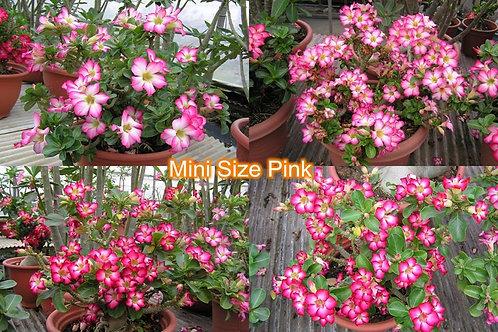 Mini Size Pink
