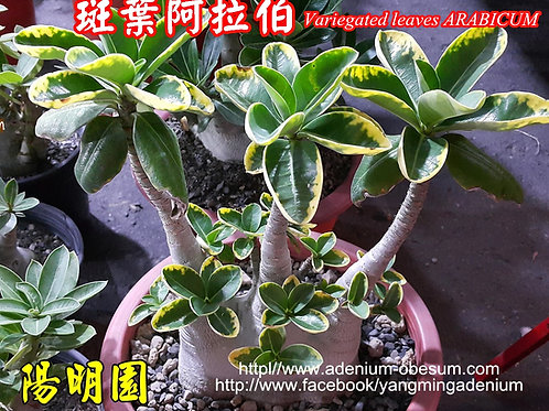 Arabicum Variegated Leaves