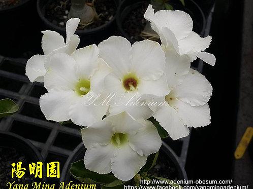 White Swazicum