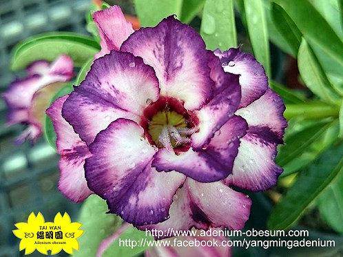 Indigo Fortune (Purple Faerie)