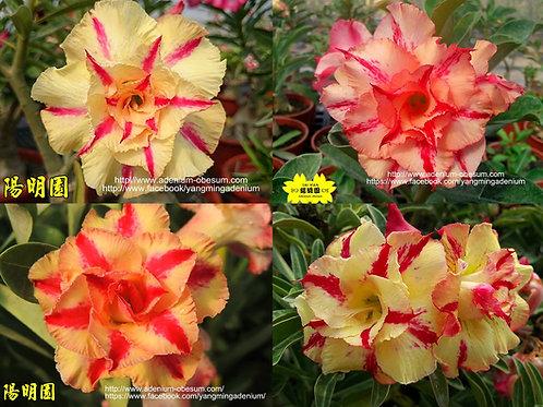 Multi-petals Yellow Star mixed