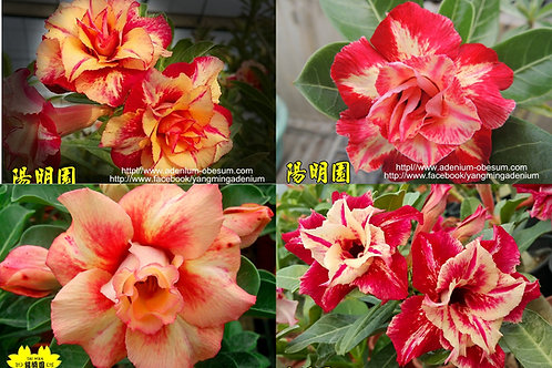 Multi-petals Mars Series