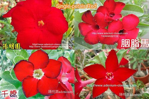Single-petals Red mixed