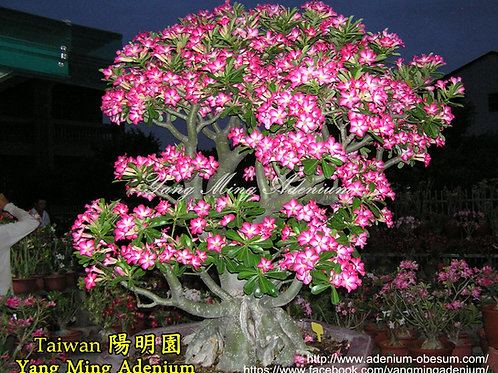 Single-petals Pink color mixed (1000 seeds)