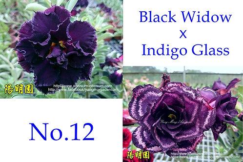 No. 12 (20 seeds)