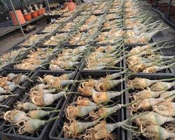 Export plants