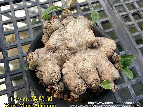 Pachypodium brevicaule seedling (B2)