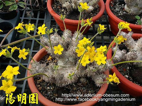Pachypodium Densicaule (50 seeds)