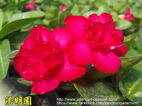 Multi-petals Adenium Arabicum