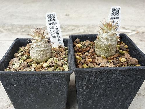 Pachypodium bicolor seedlings