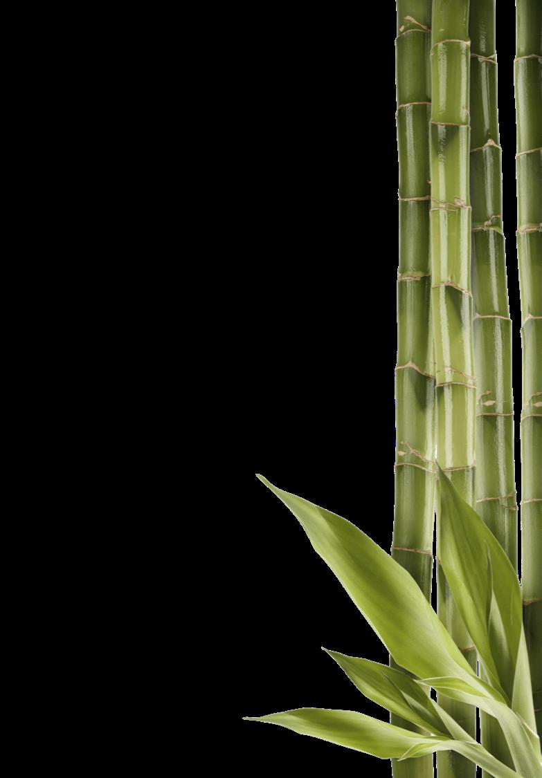 Bambou PFZ 2 verso.png