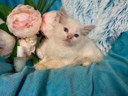 Lilac bicolour boy