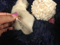 Plum Violet Polish's tail