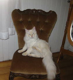 Red tabby mitted.JPG