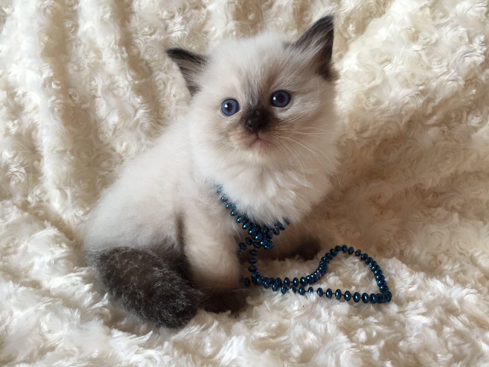 Seal Point Kitten