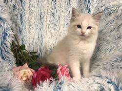 Jipsiglenn Panther Lily