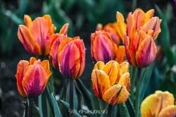 Tulips_6_WM