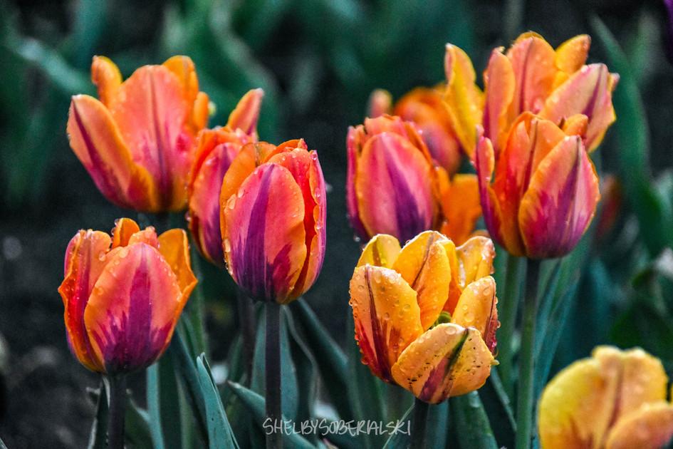 Tulips_6_WM.jpg
