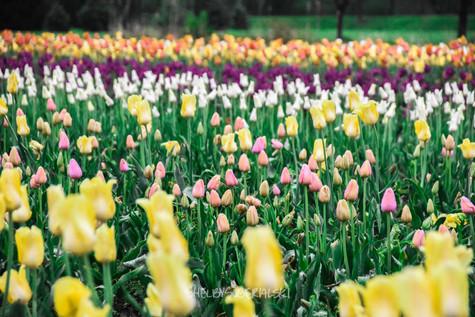 Tulips_16_WM.jpg