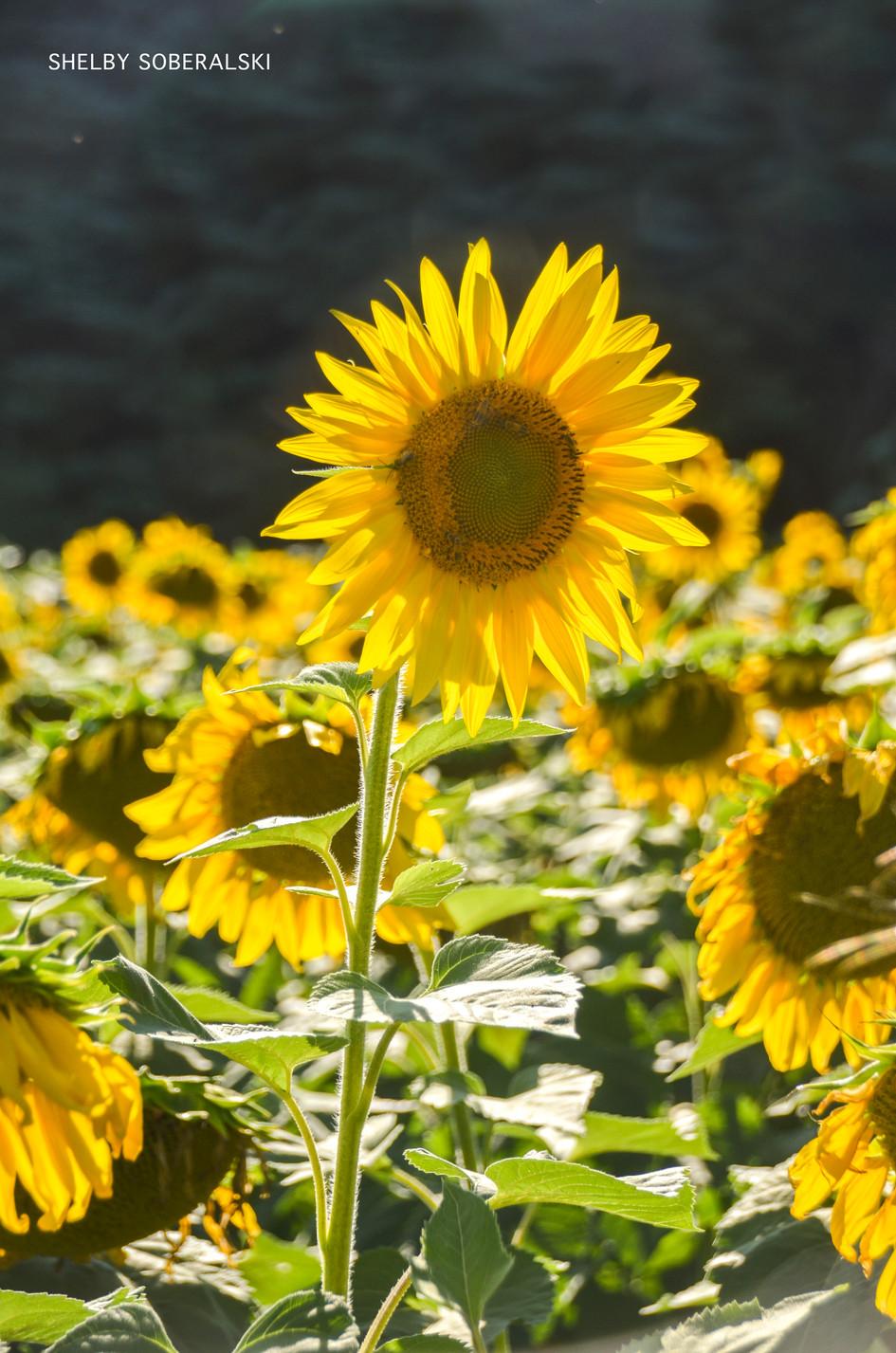 sunflower_WM.jpg