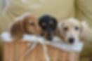 最新の仔犬情報