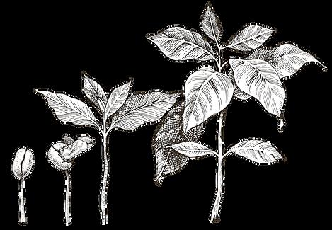Seedling [Converted].png