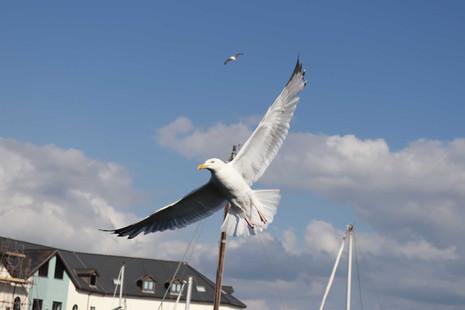 gull-in-flight.jpg