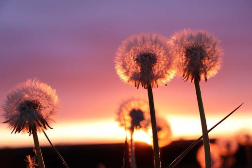 dandelions-at-sunset.jpg