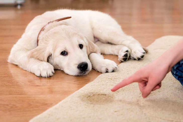 Quickly and safely remove pet stains from your carpet